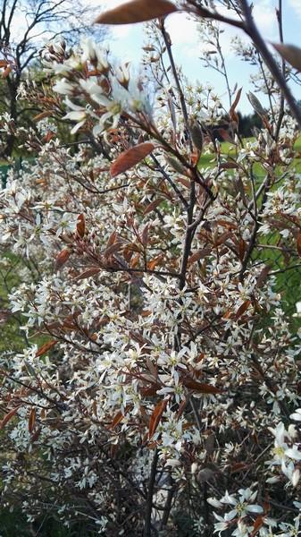 Muchovník Lamarckův - Amelanchier lamarckii