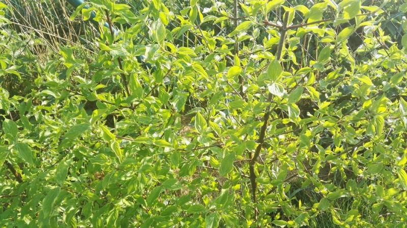 Dřín jarní - Cornus mas