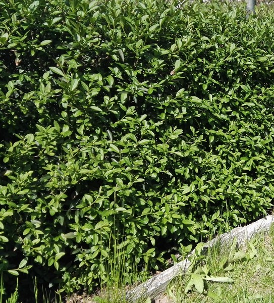 Ptačí zob - Ligustrum vulgare