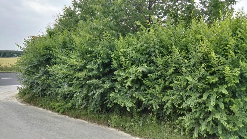 Kouzelný živý plot - jilm sibiřský - Ulmus pumila