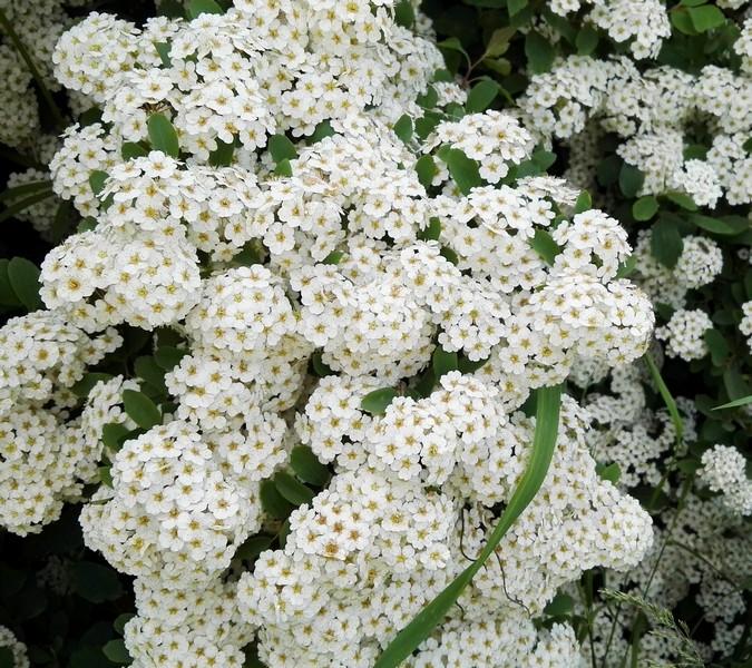 Spiraea × vanhouttei – Svatební věnec - Tavolnik